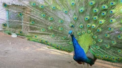 Blue peacock with huge colourful tail stands on ground Stock Footage
