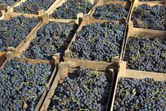 Merlot grape for wine making Stock Photos