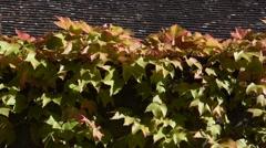 The vine leaves Stock Footage
