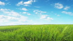 Wheat field and blue sky. Stock Footage