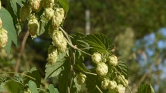 Branches of the hops Stock Footage