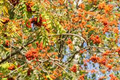 Rowan Berries in Autumn Stock Photos