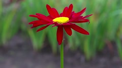 One red daisy flower on a background of green grass Stock Footage