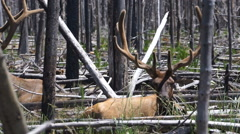 Large Bull Elk Western Animal Wildlife Yellowstone National Park Stock Footage