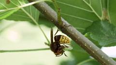 European Hornet predating a Western or European Honey Bee Stock Footage