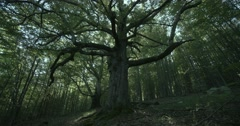 Old oak tree in the forest Stock Footage
