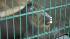 Mandrill eating an apple at the zoo Stock Footage