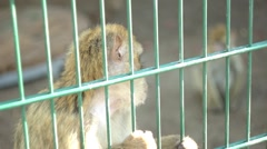 Sad Barbary Macaque at the cell, at the zoo Stock Footage