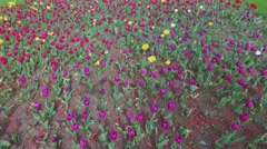 Many colourful tulips on flowerbed at spring day. Aerial view Stock Footage