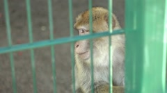 Barbary Macaque scratching himself in a zoo Stock Footage