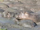 Hippos relax at a water hole in the serengeti Stock Photos