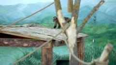 Griffon Capuchin walking on sand in the zoo Stock Footage