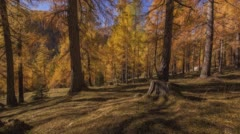 Sweeping time-lapse in a golden, autumnal forest. Stock Footage