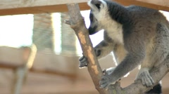 Lemur jumping in the trees and branches Stock Footage