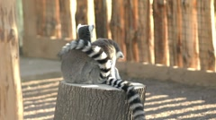 Two lemurs sitting on a tree stump and cleaning Stock Footage