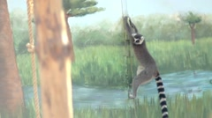 Lemur climbs the wall zoo Stock Footage