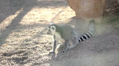 Lemur bored at the zoo Stock Footage