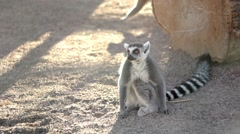 Lemoore spoiled and naughty at the zoo Stock Footage