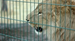 Leo looks around in the zoo Stock Footage
