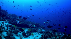 Scuba diver descends into deep water as tropical reef fish actively swim. Stock Footage