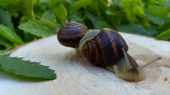 Two snails on a stump among green leaves Stock Footage