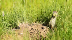 Prairie Dog Eating Grass Tetons National Elk Refuge Jackson Wyoming Stock Footage