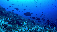 Deep tropical reef filled with schooling butterfly fish Stock Footage