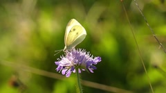 White Butterfly Sitting on the Flower. Slow Motion. Stock Footage