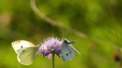Two White Butterfly on the Flower in Slow Motion. Stock Footage