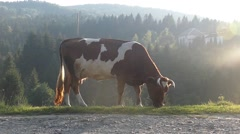 Cow in the Sun Light Eating in Slow Motion. Stock Footage