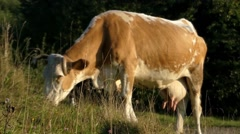 A Cow With a Bell Around His Neck Grazing Closeup. Stock Footage