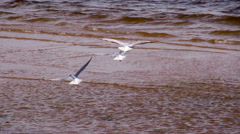 White Seagull Flying Over the Surf HD Pro Stock Footage