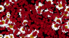 4k Rose petals daisy shaped wreath wedding Valentine's Day background. Stock Footage