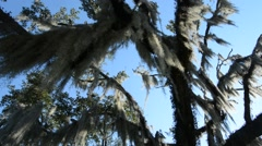 Spanish moss on a live oak tree, pan down Stock Footage
