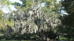 Spanish moss on a live oak tree Stock Footage