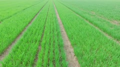 Seedbeds with sprouts on experimental farm field Stock Footage