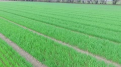 Rows of sprouts on farm test field at spring day. Aerial view Stock Footage