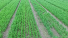 Seedbeds with grass sprouts on experimental field at spring Stock Footage