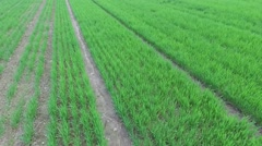 Rows of green plants on farm field at spring day. Aerial view Stock Footage