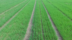 Farm field with rows of green sprouts at spring day. Aerial view Stock Footage