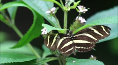 Zebra butterfly yellow black (Heliconius charithonia) Stock Footage