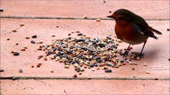 Robin bird eating bird seed Stock Footage