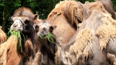 Two camels eating grass Stock Footage