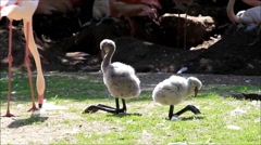 Baby animal bird pink flamingo Stock Footage