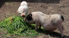 Teacup pig, mini pigs eating grass Stock Footage