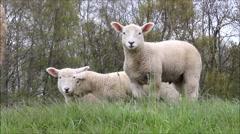 Three cute lamb in grass looking Stock Footage