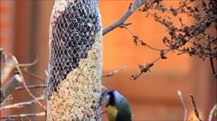Feeding wild birds in winter, blue tit Stock Footage