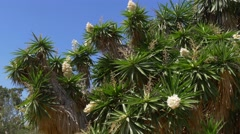 Yucca blooming in Barcelona Stock Footage