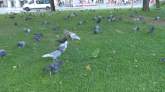 Monk parakeets (Myiopsitta monachus) with pigeons Stock Footage