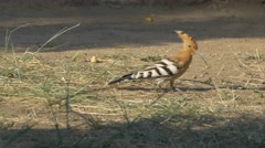 Hoopoe (Upupa epops) looking for food Stock Footage